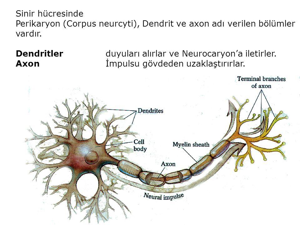 Sinir hücresinde Perikaryon (Corpus neurcyti), Dendrit ve axon adı verilen bölümler vardır.