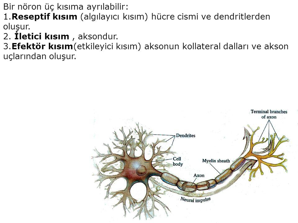 Bir nöron üç kısıma ayrılabilir: 1.Reseptif kısım (algılayıcı kısım) hücre cismi ve dendritlerden oluşur.