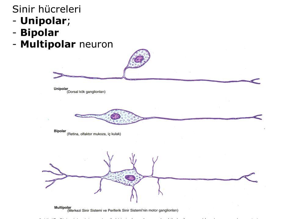 Sinir hücreleri - Unipolar; - Bipolar - Multipolar neuron