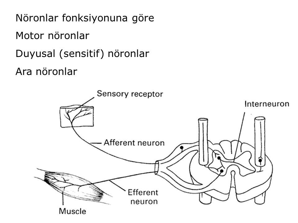 Nöronlar fonksiyonuna göre Motor nöronlar Duyusal (sensitif) nöronlar Ara nöronlar