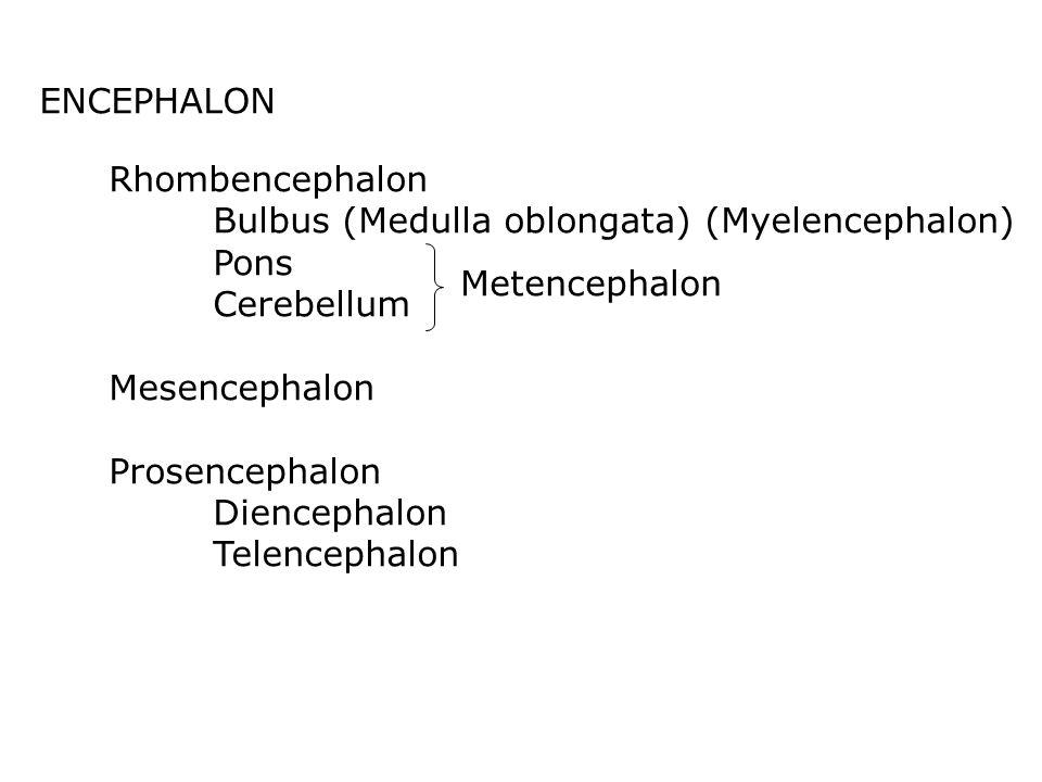 ENCEPHALON Rhombencephalon Bulbus (Medulla oblongata) (Myelencephalon) Pons Cerebellum Mesencephalon Prosencephalon Diencephalon Telencephalon Metencephalon