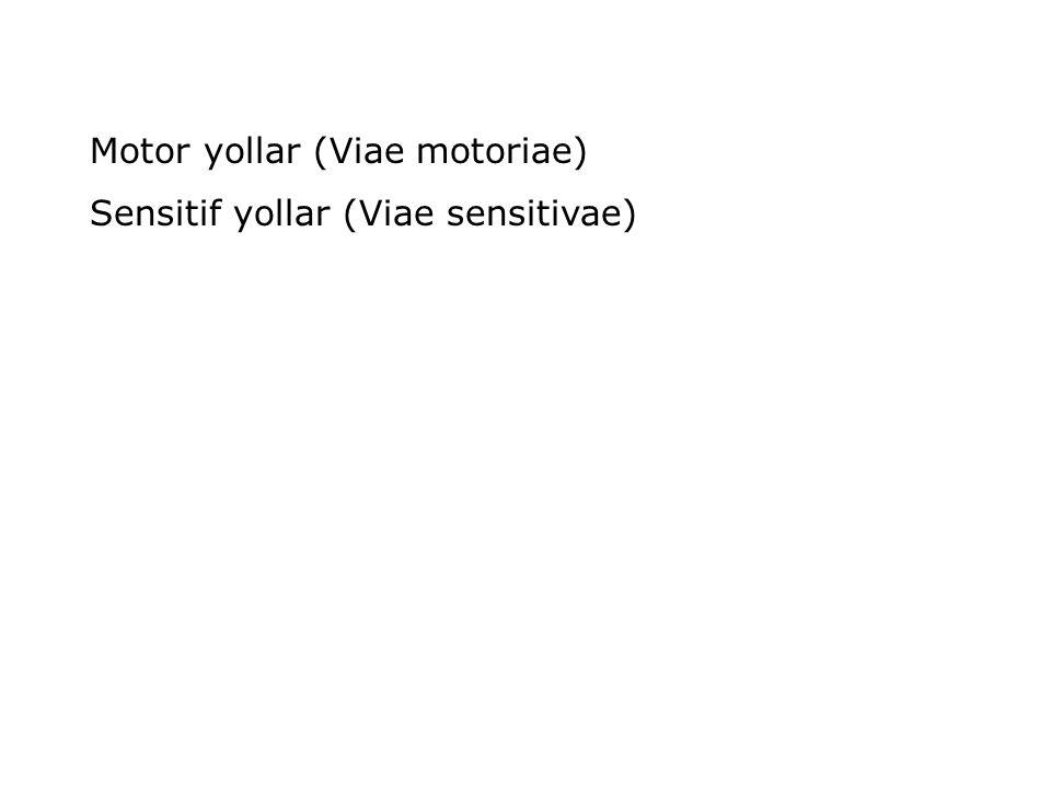 Motor yollar (Viae motoriae) Sensitif yollar (Viae sensitivae)