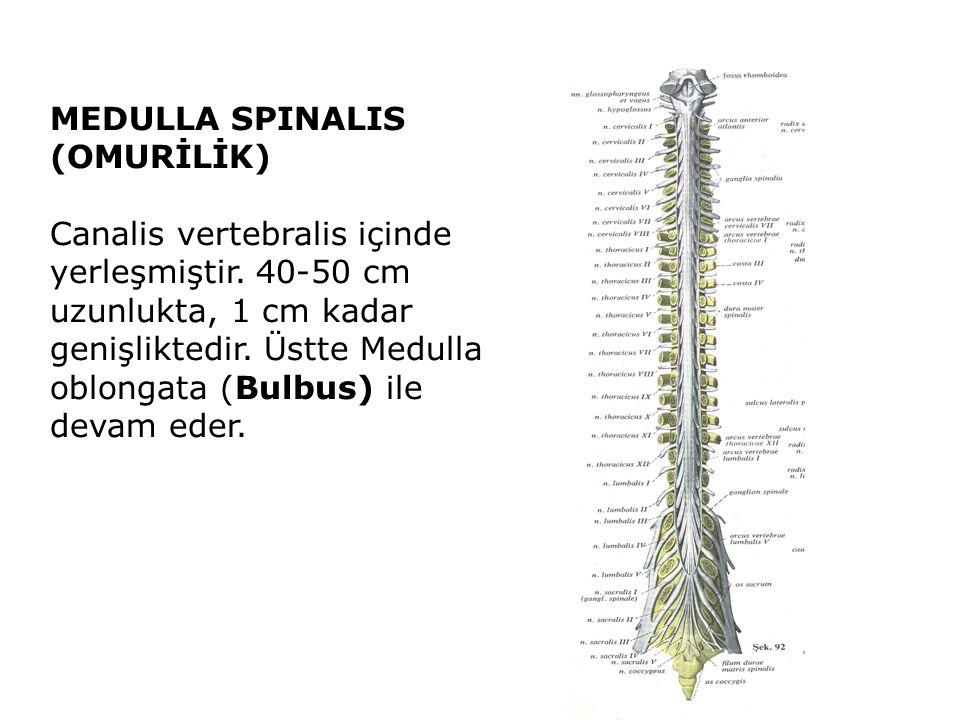 MEDULLA SPINALIS (OMURİLİK) Canalis vertebralis içinde yerleşmiştir.