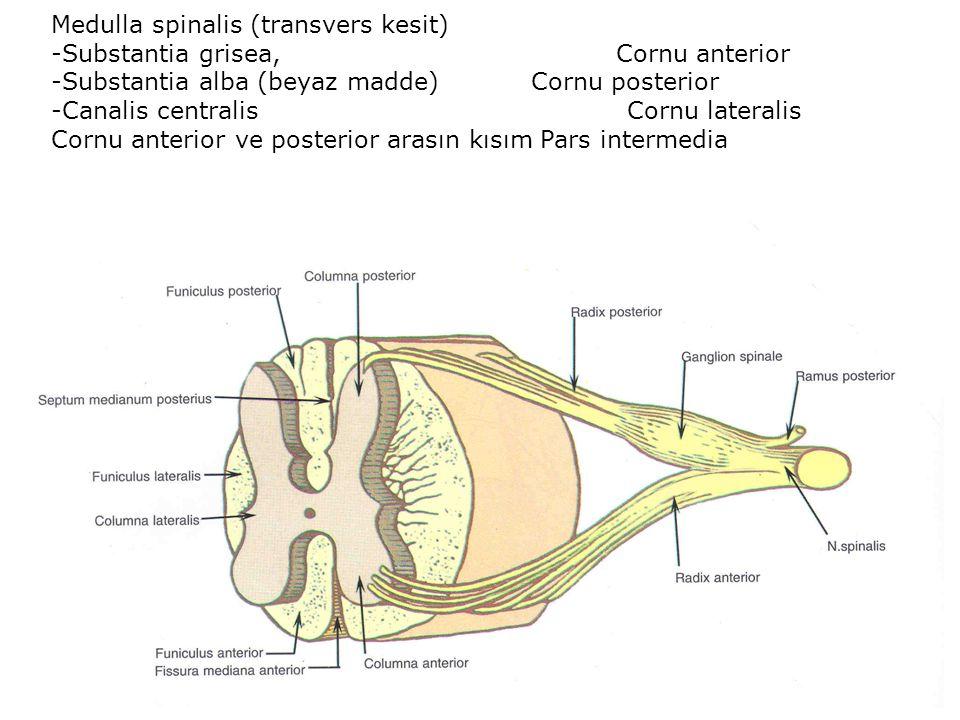 Medulla spinalis (transvers kesit) -Substantia grisea, Cornu anterior -Substantia alba (beyaz madde) Cornu posterior -Canalis centralis Cornu lateralis Cornu anterior ve posterior arasın kısım Pars intermedia
