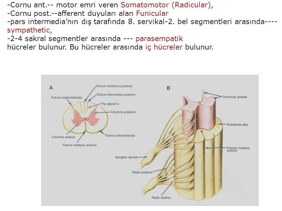 -Cornu ant.-- motor emri veren Somatomotor (Radicular), -Cornu post.--afferent duyuları alan Funicular -pars intermedia'nın dış tarafında 8.