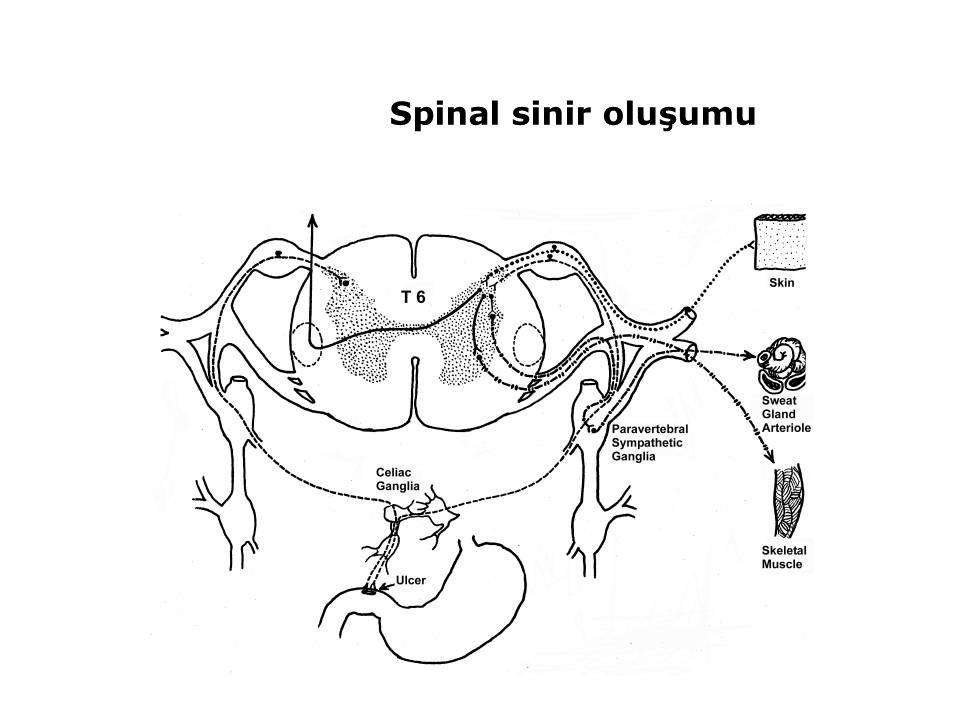Spinal sinir oluşumu