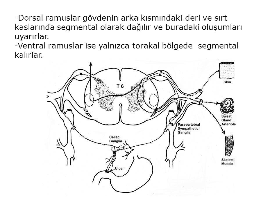 -Dorsal ramuslar gövdenin arka kısmındaki deri ve sırt kaslarında segmental olarak dağılır ve buradaki oluşumları uyarırlar.