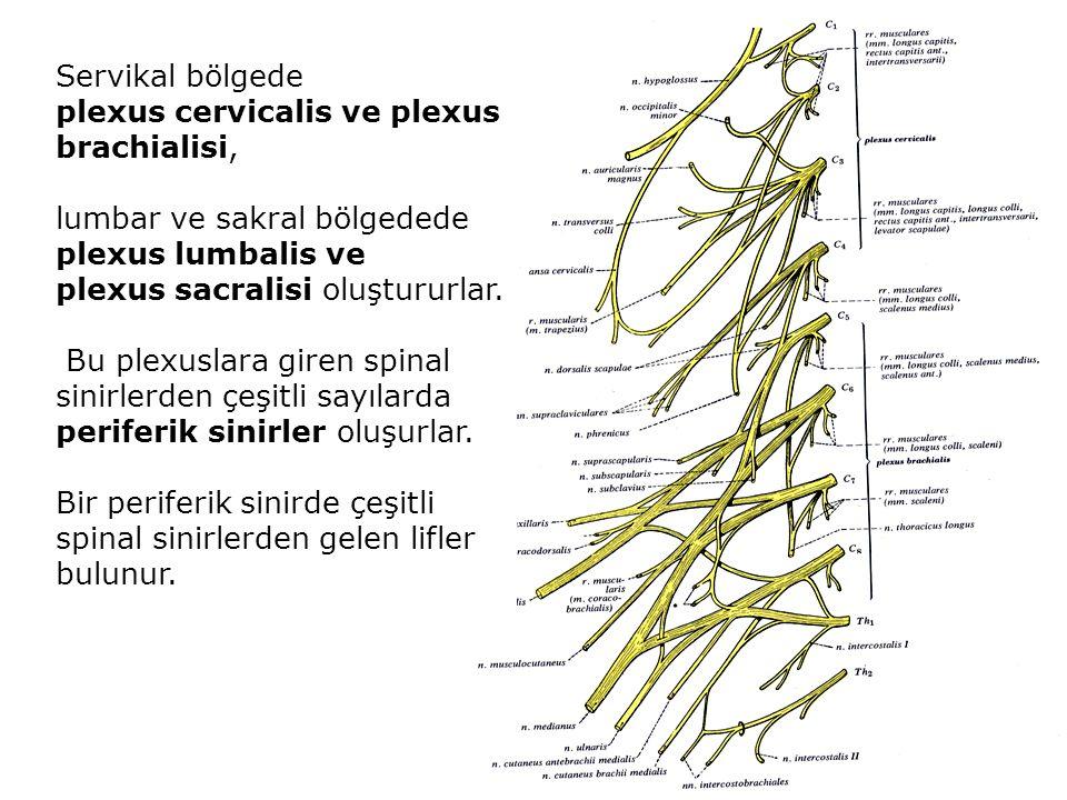 Servikal bölgede plexus cervicalis ve plexus brachialisi, lumbar ve sakral bölgedede plexus lumbalis ve plexus sacralisi oluştururlar.