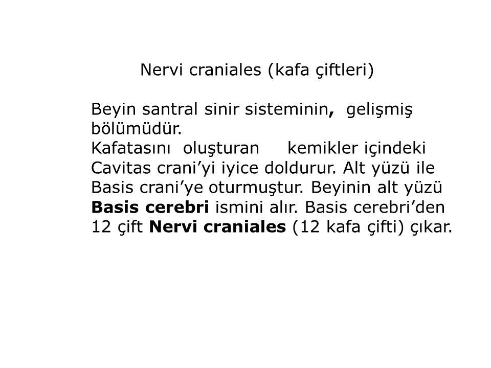 Nervi craniales (kafa çiftleri) Beyin santral sinir sisteminin, gelişmiş bölümüdür.
