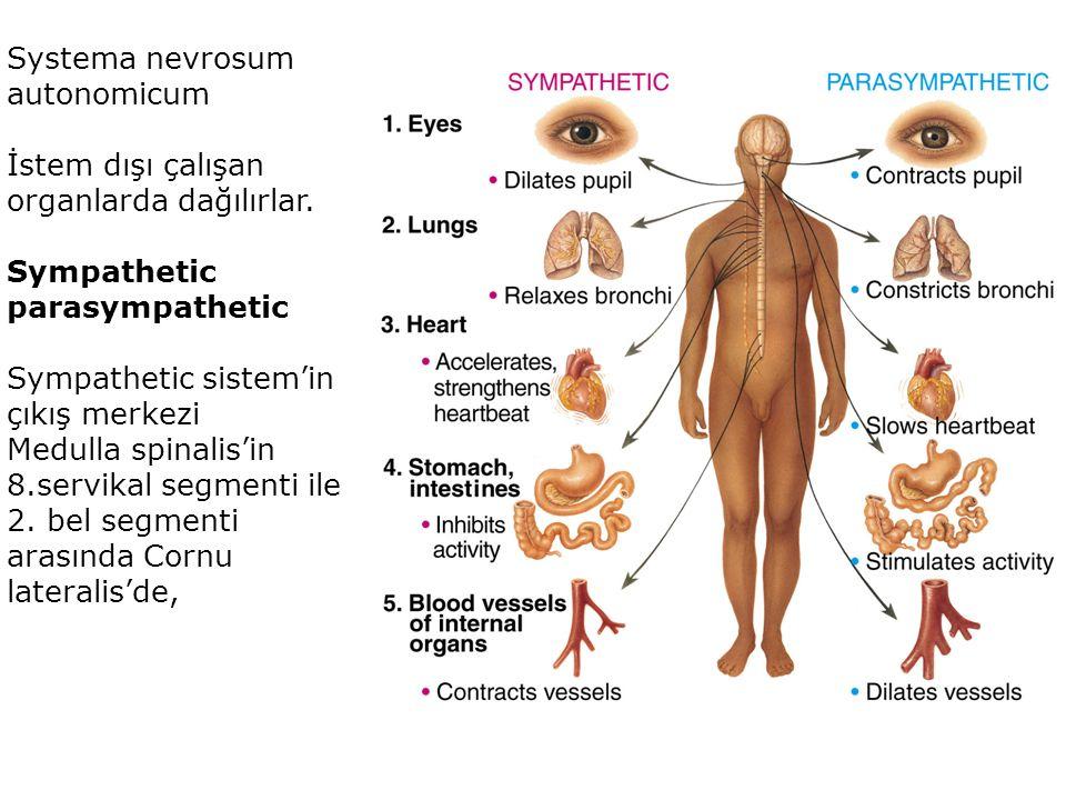 Systema nevrosum autonomicum İstem dışı çalışan organlarda dağılırlar.