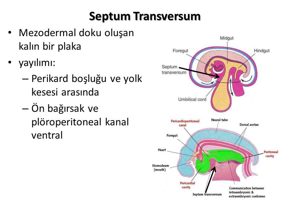 Septum Transversum Mezodermal doku oluşan kalın bir plaka yayılımı: – Perikard boşluğu ve yolk kesesi arasında – Ön bağırsak ve plöroperitoneal kanal
