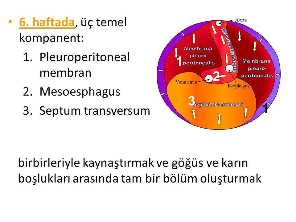 6. haftada 6. haftada, üç temel kompanent: 1.Pleuroperitoneal membran 2.Mesoesphagus 3.Septum transversum 1 1 3 2 birbirleriyle kaynaştırmak ve göğüs
