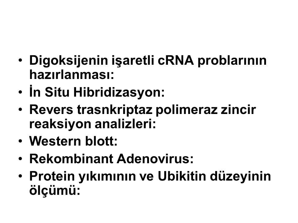 Digoksijenin işaretli cRNA problarının hazırlanması: İn Situ Hibridizasyon: Revers trasnkriptaz polimeraz zincir reaksiyon analizleri: Western blott: Rekombinant Adenovirus: Protein yıkımının ve Ubikitin düzeyinin ölçümü: