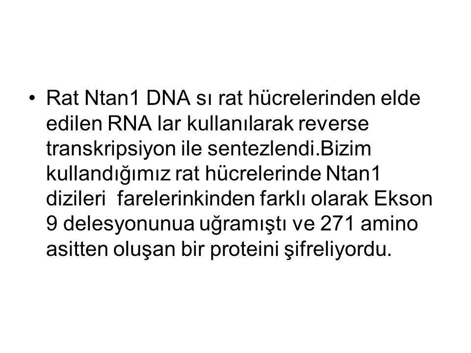 Rat Ntan1 DNA sı rat hücrelerinden elde edilen RNA lar kullanılarak reverse transkripsiyon ile sentezlendi.Bizim kullandığımız rat hücrelerinde Ntan1 dizileri farelerinkinden farklı olarak Ekson 9 delesyonunua uğramıştı ve 271 amino asitten oluşan bir proteini şifreliyordu.