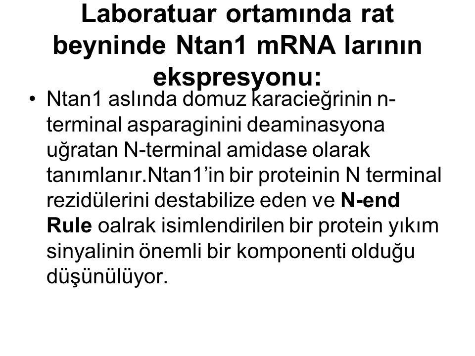 Laboratuar ortamında rat beyninde Ntan1 mRNA larının ekspresyonu: Ntan1 aslında domuz karacieğrinin n- terminal asparaginini deaminasyona uğratan N-terminal amidase olarak tanımlanır.Ntan1'in bir proteinin N terminal rezidülerini destabilize eden ve N-end Rule oalrak isimlendirilen bir protein yıkım sinyalinin önemli bir komponenti olduğu düşünülüyor.