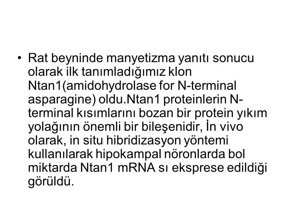 Rat beyninde manyetizma yanıtı sonucu olarak ilk tanımladığımız klon Ntan1(amidohydrolase for N-terminal asparagine) oldu.Ntan1 proteinlerin N- terminal kısımlarını bozan bir protein yıkım yolağının önemli bir bileşenidir, İn vivo olarak, in situ hibridizasyon yöntemi kullanılarak hipokampal nöronlarda bol miktarda Ntan1 mRNA sı eksprese edildiği görüldü.