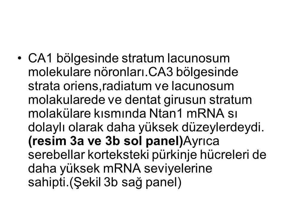 CA1 bölgesinde stratum lacunosum molekulare nöronları.CA3 bölgesinde strata oriens,radiatum ve lacunosum molakularede ve dentat girusun stratum molakülare kısmında Ntan1 mRNA sı dolaylı olarak daha yüksek düzeylerdeydi.
