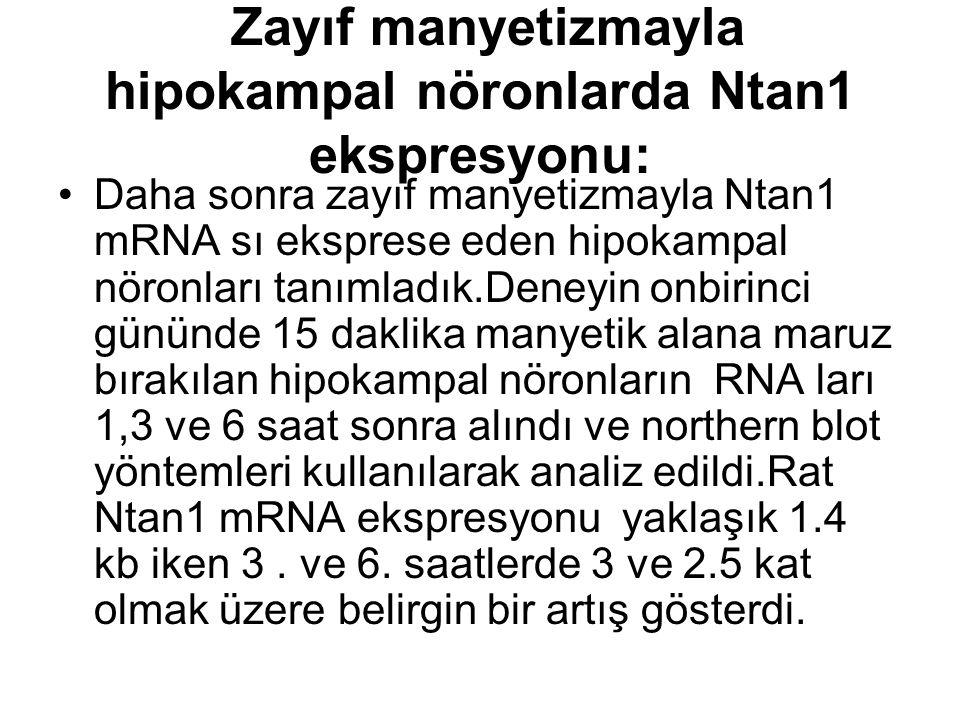 Zayıf manyetizmayla hipokampal nöronlarda Ntan1 ekspresyonu: Daha sonra zayıf manyetizmayla Ntan1 mRNA sı eksprese eden hipokampal nöronları tanımladık.Deneyin onbirinci gününde 15 daklika manyetik alana maruz bırakılan hipokampal nöronların RNA ları 1,3 ve 6 saat sonra alındı ve northern blot yöntemleri kullanılarak analiz edildi.Rat Ntan1 mRNA ekspresyonu yaklaşık 1.4 kb iken 3.