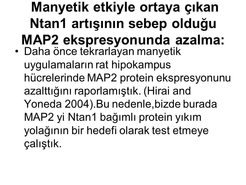 Manyetik etkiyle ortaya çıkan Ntan1 artışının sebep olduğu MAP2 ekspresyonunda azalma: Daha önce tekrarlayan manyetik uygulamaların rat hipokampus hücrelerinde MAP2 protein ekspresyonunu azalttığını raporlamıştık.