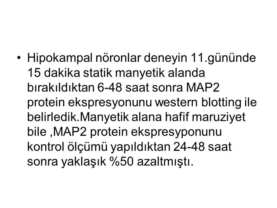 Hipokampal nöronlar deneyin 11.gününde 15 dakika statik manyetik alanda bırakıldıktan 6-48 saat sonra MAP2 protein ekspresyonunu western blotting ile belirledik.Manyetik alana hafif maruziyet bile,MAP2 protein ekspresyponunu kontrol ölçümü yapıldıktan 24-48 saat sonra yaklaşık %50 azaltmıştı.