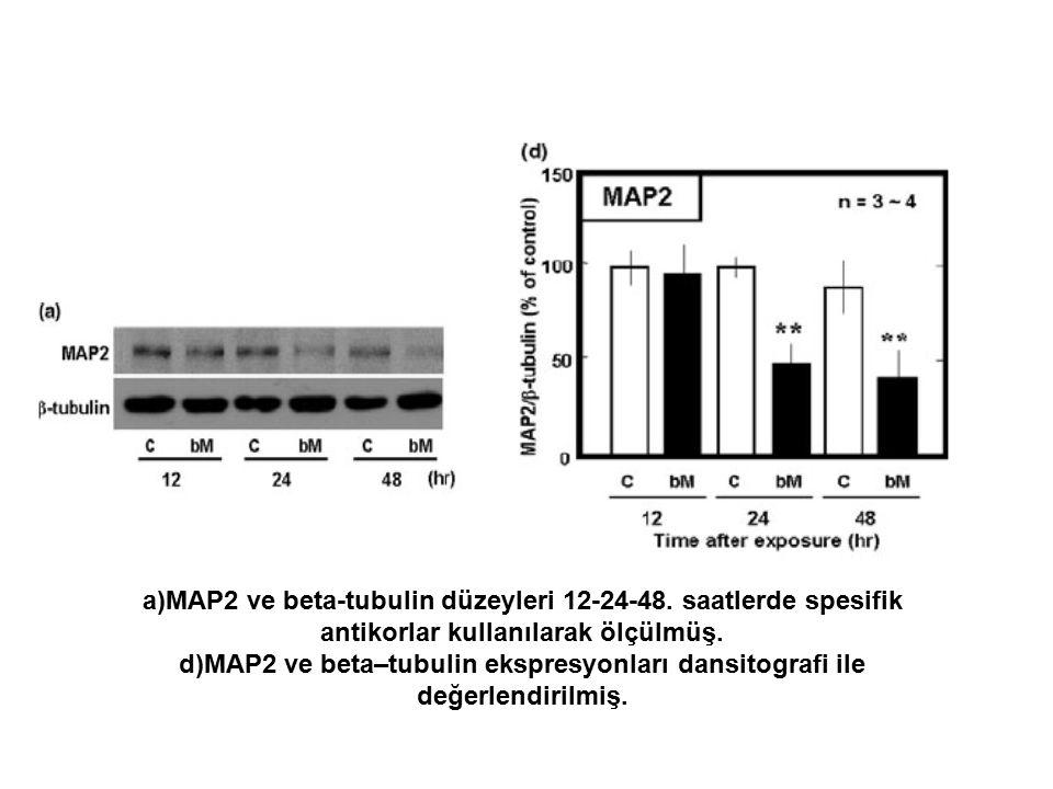 a)MAP2 ve beta-tubulin düzeyleri 12-24-48. saatlerde spesifik antikorlar kullanılarak ölçülmüş.