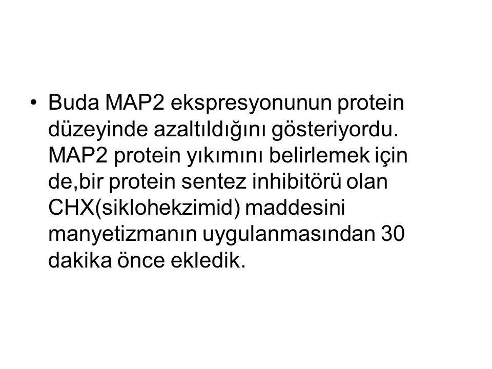 Buda MAP2 ekspresyonunun protein düzeyinde azaltıldığını gösteriyordu.