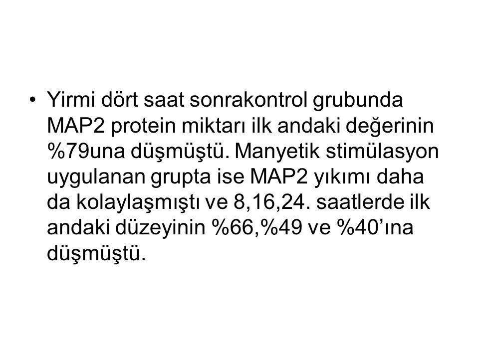 Yirmi dört saat sonrakontrol grubunda MAP2 protein miktarı ilk andaki değerinin %79una düşmüştü.