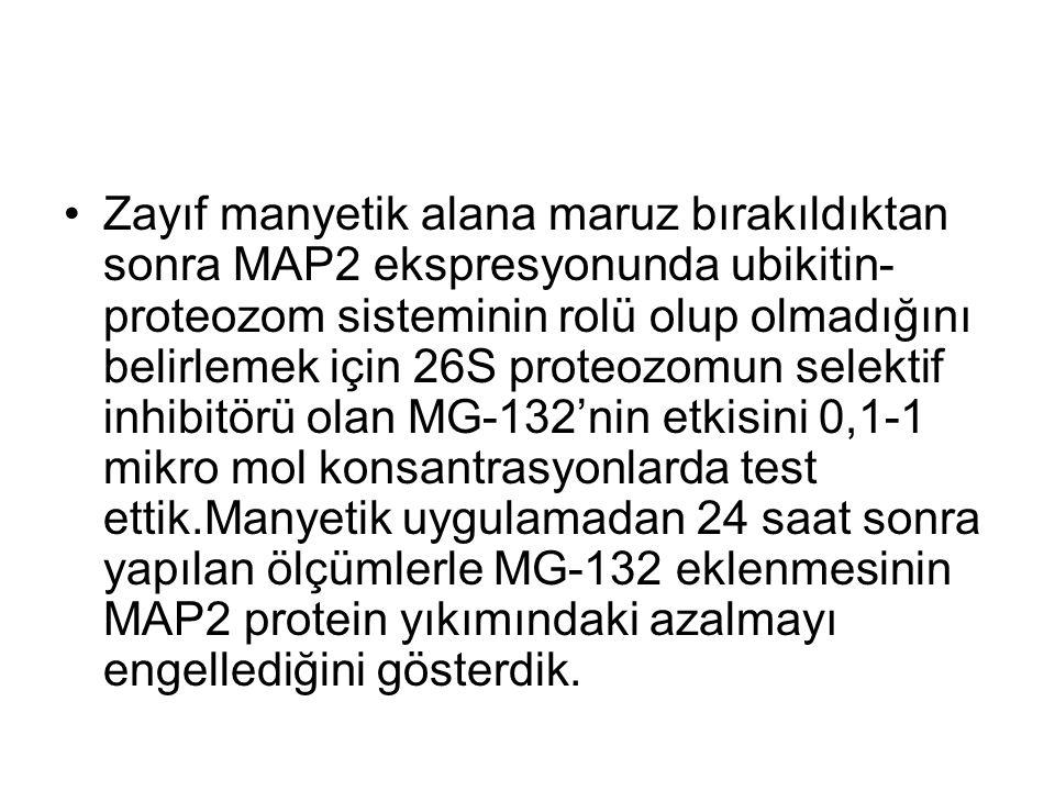 Zayıf manyetik alana maruz bırakıldıktan sonra MAP2 ekspresyonunda ubikitin- proteozom sisteminin rolü olup olmadığını belirlemek için 26S proteozomun selektif inhibitörü olan MG-132'nin etkisini 0,1-1 mikro mol konsantrasyonlarda test ettik.Manyetik uygulamadan 24 saat sonra yapılan ölçümlerle MG-132 eklenmesinin MAP2 protein yıkımındaki azalmayı engellediğini gösterdik.