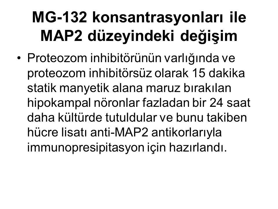 MG-132 konsantrasyonları ile MAP2 düzeyindeki değişim Proteozom inhibitörünün varlığında ve proteozom inhibitörsüz olarak 15 dakika statik manyetik alana maruz bırakılan hipokampal nöronlar fazladan bir 24 saat daha kültürde tutuldular ve bunu takiben hücre lisatı anti-MAP2 antikorlarıyla immunopresipitasyon için hazırlandı.