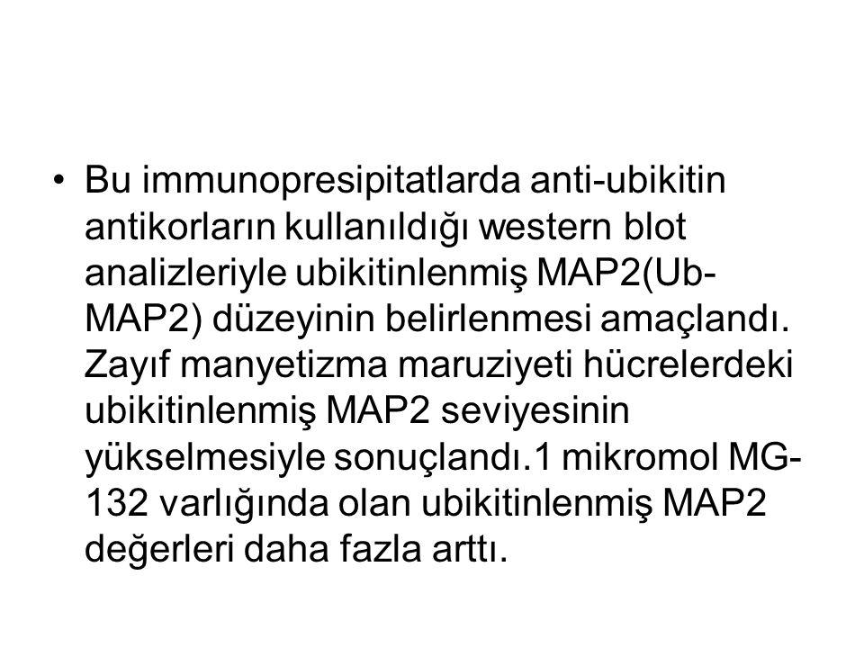 Bu immunopresipitatlarda anti-ubikitin antikorların kullanıldığı western blot analizleriyle ubikitinlenmiş MAP2(Ub- MAP2) düzeyinin belirlenmesi amaçlandı.