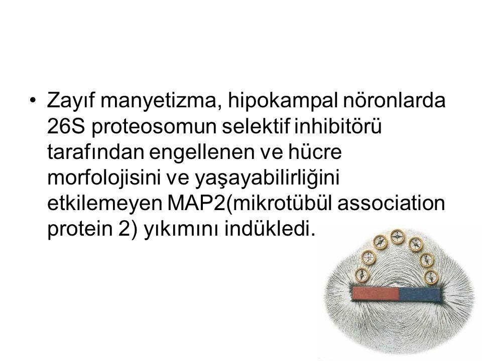 Zayıf manyetizma, hipokampal nöronlarda 26S proteosomun selektif inhibitörü tarafından engellenen ve hücre morfolojisini ve yaşayabilirliğini etkilemeyen MAP2(mikrotübül association protein 2) yıkımını indükledi.