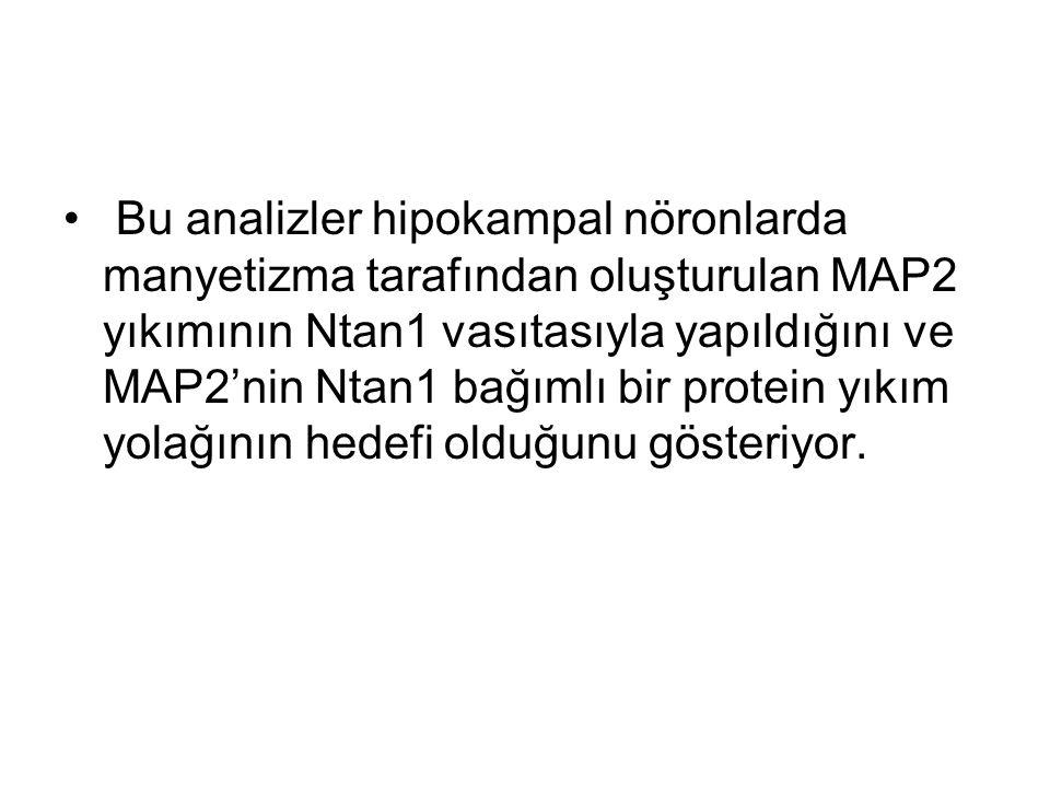 Bu analizler hipokampal nöronlarda manyetizma tarafından oluşturulan MAP2 yıkımının Ntan1 vasıtasıyla yapıldığını ve MAP2'nin Ntan1 bağımlı bir protein yıkım yolağının hedefi olduğunu gösteriyor.