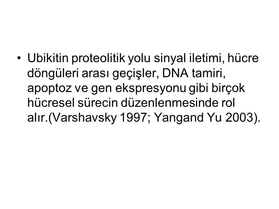Ubikitin proteolitik yolu sinyal iletimi, hücre döngüleri arası geçişler, DNA tamiri, apoptoz ve gen ekspresyonu gibi birçok hücresel sürecin düzenlenmesinde rol alır.(Varshavsky 1997; Yangand Yu 2003).
