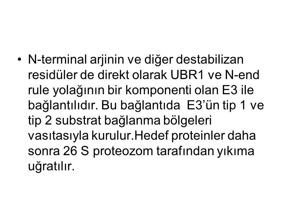 N-terminal arjinin ve diğer destabilizan residüler de direkt olarak UBR1 ve N-end rule yolağının bir komponenti olan E3 ile bağlantılıdır.