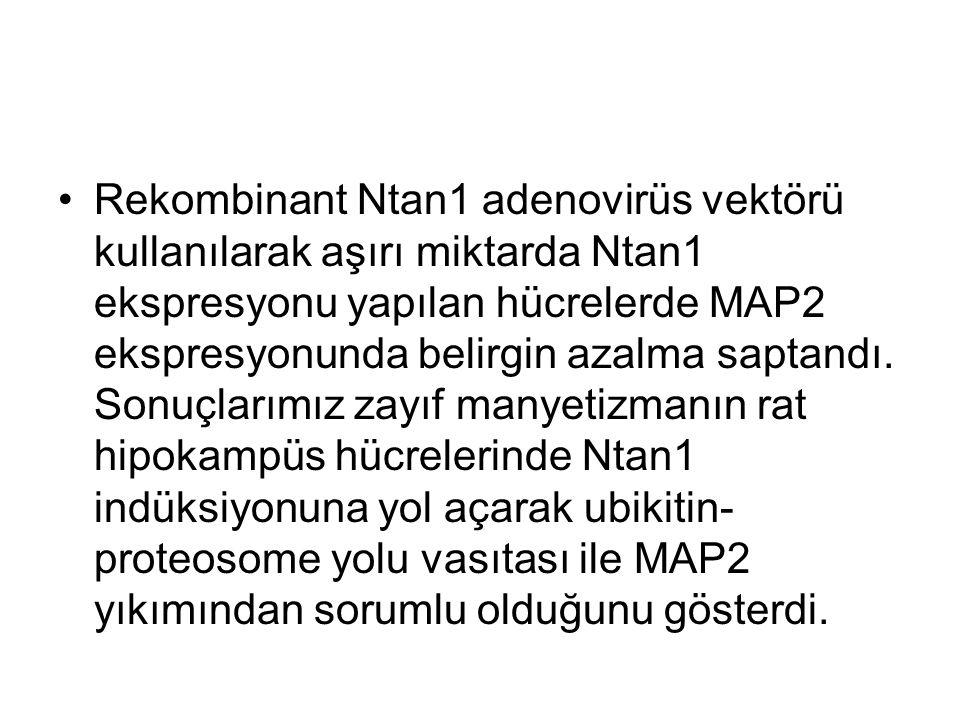 Ntan1 in zorlu ekspresyonunu hipokampal nöronlarda MAP2 düzeylerini azalttığını gösterdik.MAP2 yıkımı için destabilizan rezidüleri tam olarak açıklayamadık.