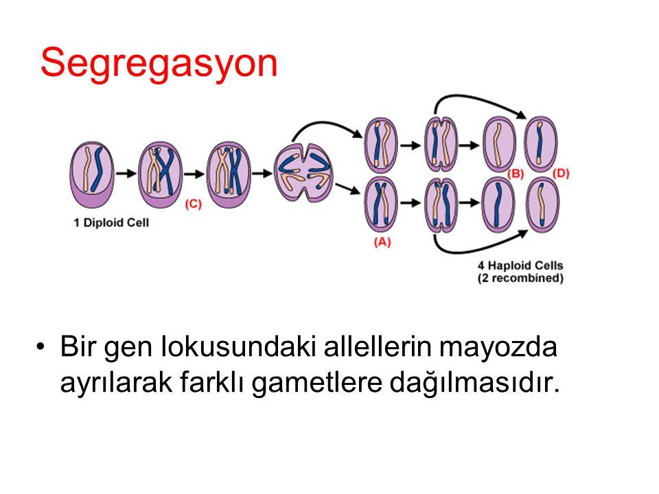 Segregasyon Bir gen lokusundaki allellerin mayozda ayrılarak farklı gametlere dağılmasıdır.
