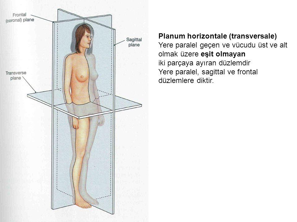 Planum horizontale (transversale) Yere paralel geçen ve vücudu üst ve alt olmak üzere eşit olmayan iki parçaya ayıran düzlemdir Yere paralel, sagittal ve frontal düzlemlere diktir.