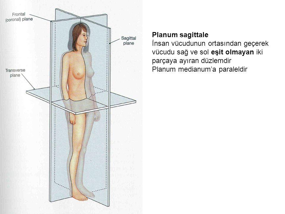 Planum sagittale İnsan vücudunun ortasından geçerek vücudu sağ ve sol eşit olmayan iki parçaya ayıran düzlemdir Planum medianum'a paraleldir