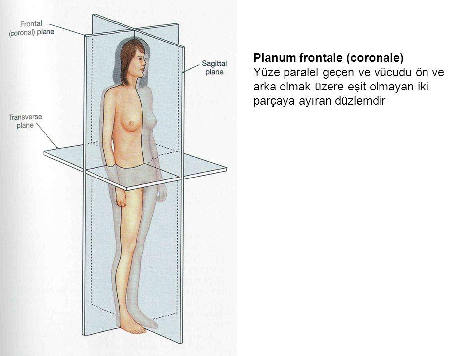 Planum frontale (coronale) Yüze paralel geçen ve vücudu ön ve arka olmak üzere eşit olmayan iki parçaya ayıran düzlemdir
