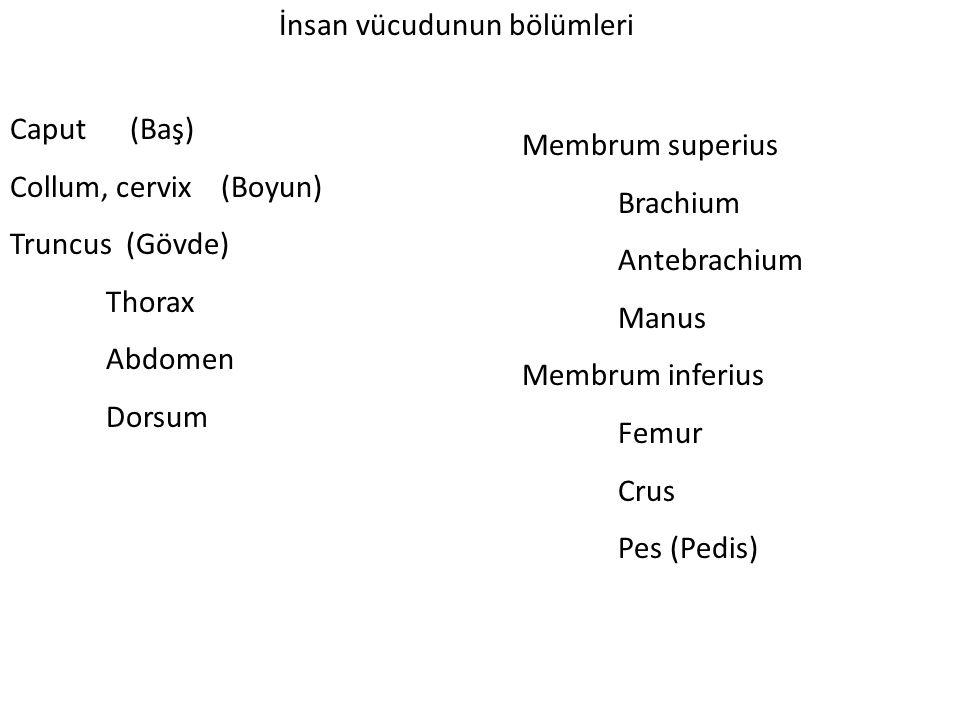 İnsan vücudunun bölümleri Caput (Baş) Collum, cervix (Boyun) Truncus (Gövde) Thorax Abdomen Dorsum Membrum superius Brachium Antebrachium Manus Membrum inferius Femur Crus Pes (Pedis)