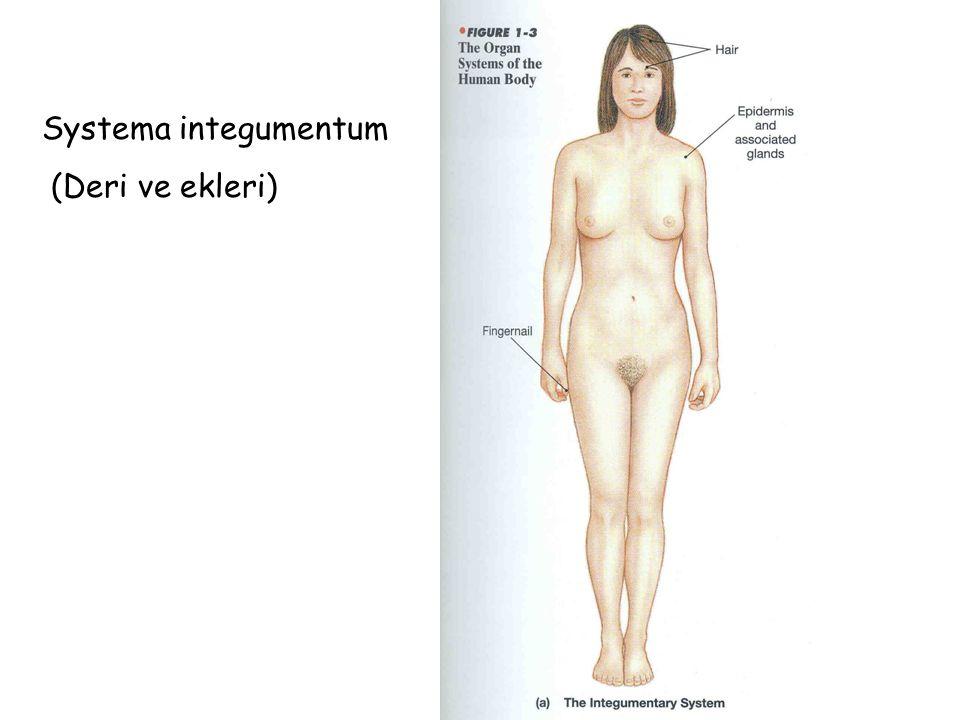 Systema integumentum (Deri ve ekleri)