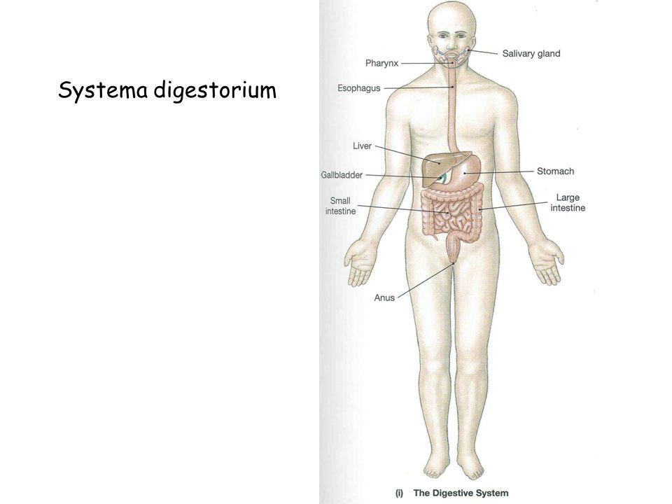 Systema digestorium
