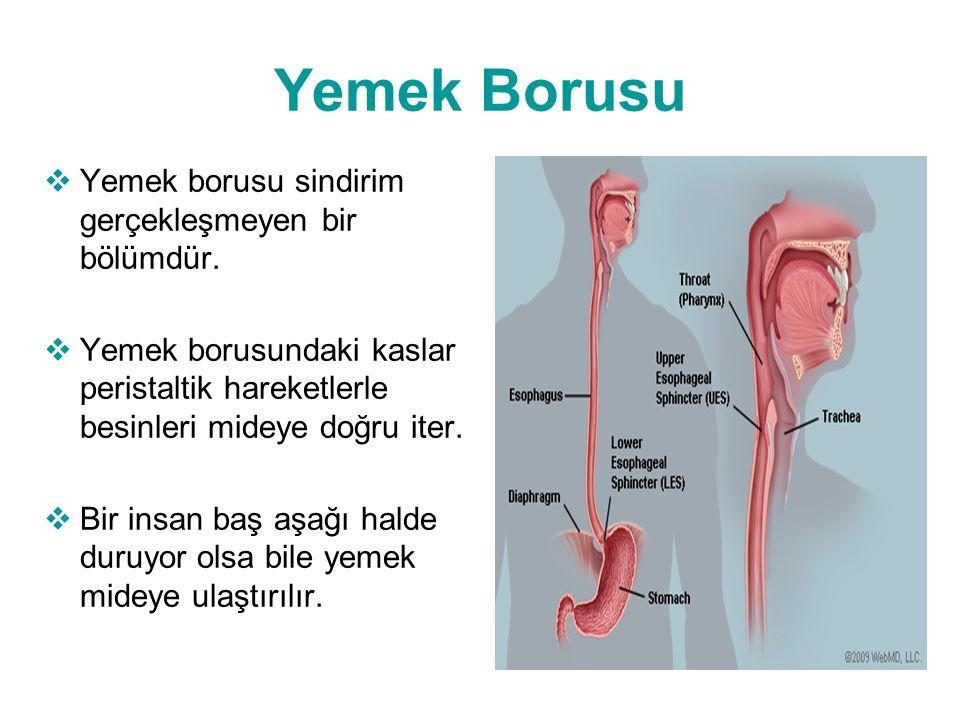 Yemek Borusu  Yemek borusu sindirim gerçekleşmeyen bir bölümdür.  Yemek borusundaki kaslar peristaltik hareketlerle besinleri mideye doğru iter.  B