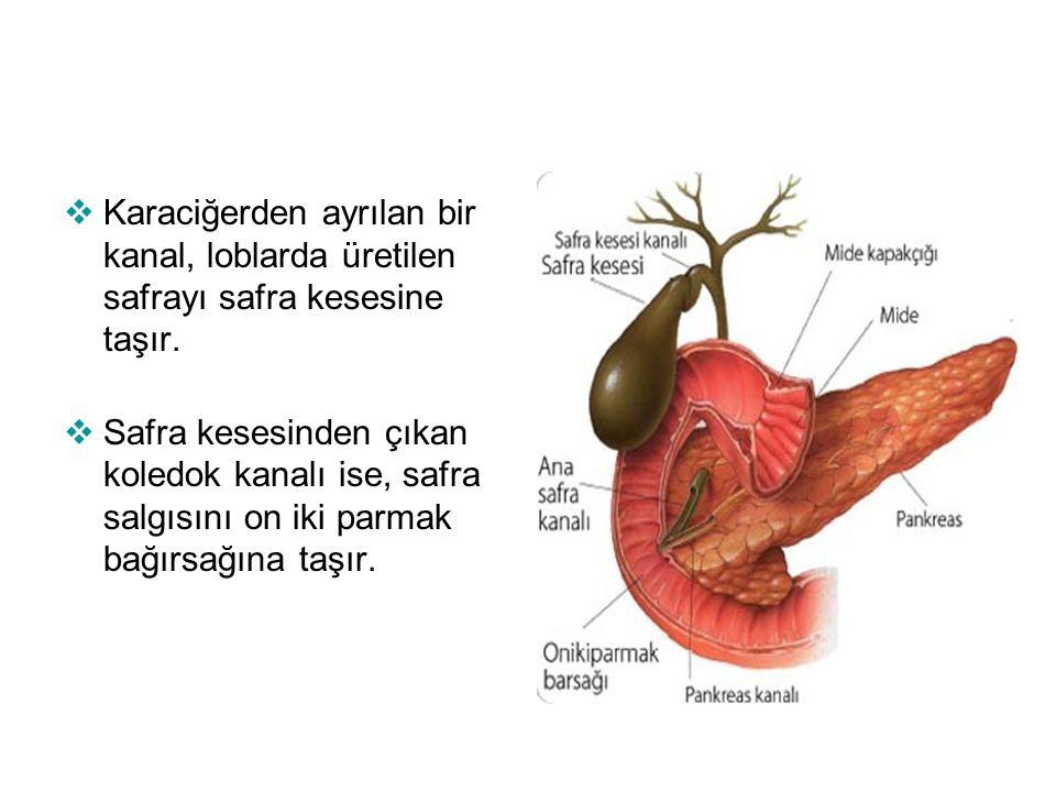  Karaciğerden ayrılan bir kanal, loblarda üretilen safrayı safra kesesine taşır.  Safra kesesinden çıkan koledok kanalı ise, safra salgısını on iki