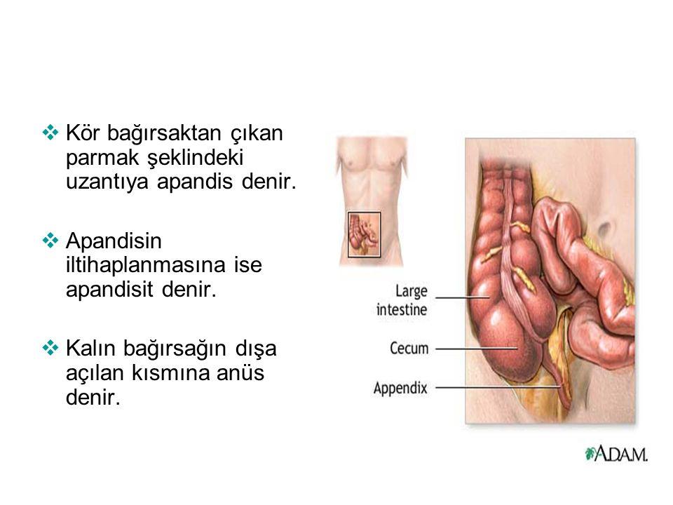  Kör bağırsaktan çıkan parmak şeklindeki uzantıya apandis denir.  Apandisin iltihaplanmasına ise apandisit denir.  Kalın bağırsağın dışa açılan kıs