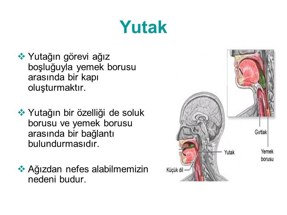 Yutak  Yutağın görevi ağız boşluğuyla yemek borusu arasında bir kapı oluşturmaktır.  Yutağın bir özelliği de soluk borusu ve yemek borusu arasında b