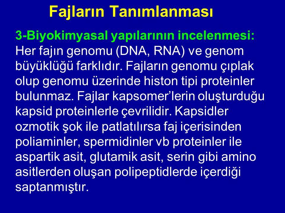 Fajların Tanımlanması 3-Biyokimyasal yapılarının incelenmesi: Her fajın genomu (DNA, RNA) ve genom büyüklüğü farklıdır. Fajların genomu çıplak olup ge