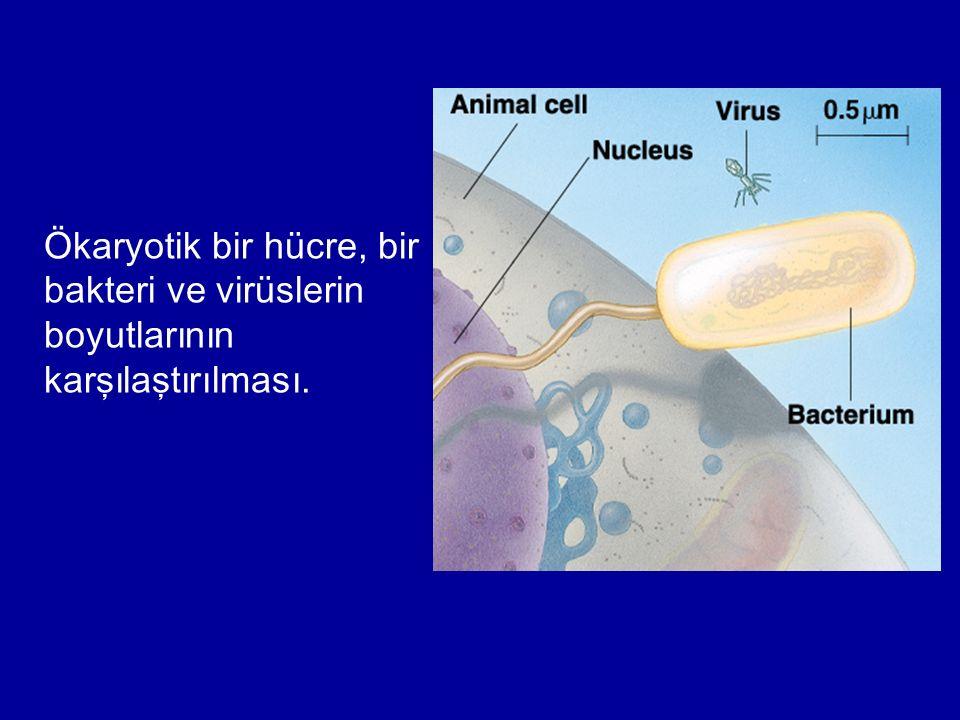 Ökaryotik bir hücre, bir bakteri ve virüslerin boyutlarının karşılaştırılması.