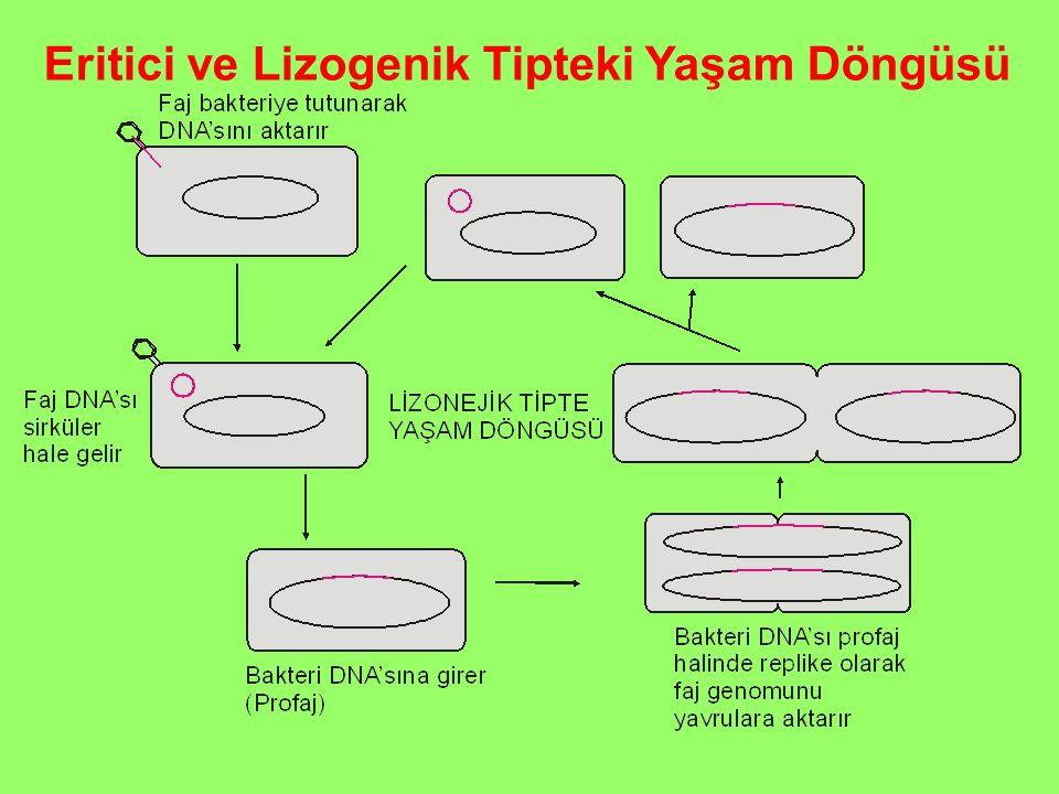 Eritici ve Lizogenik Tipteki Yaşam Döngüsü