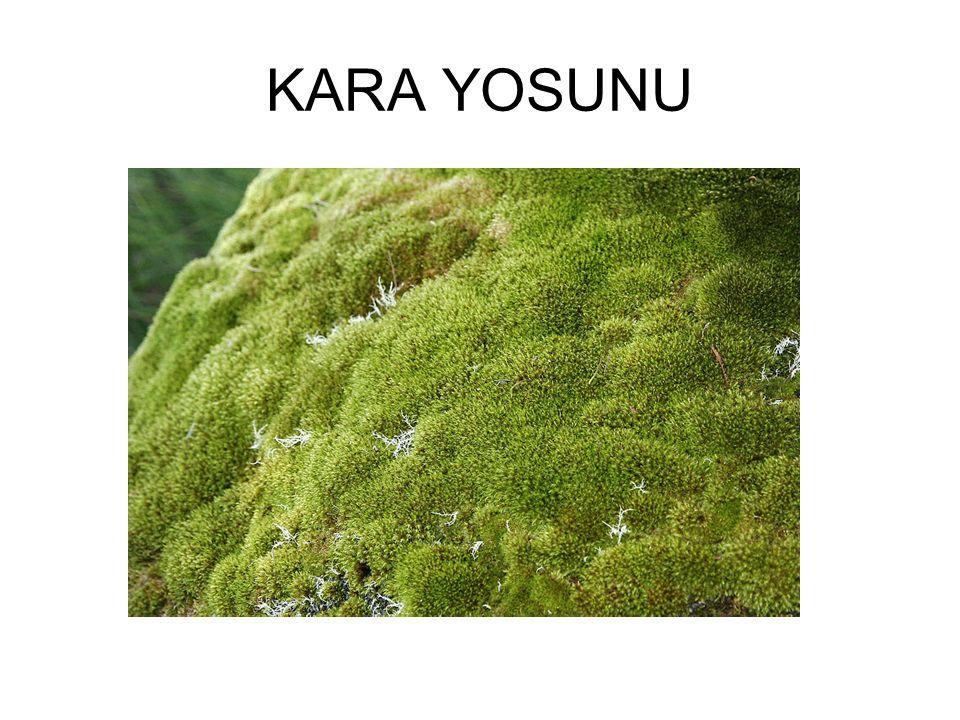KARA YOSUNU